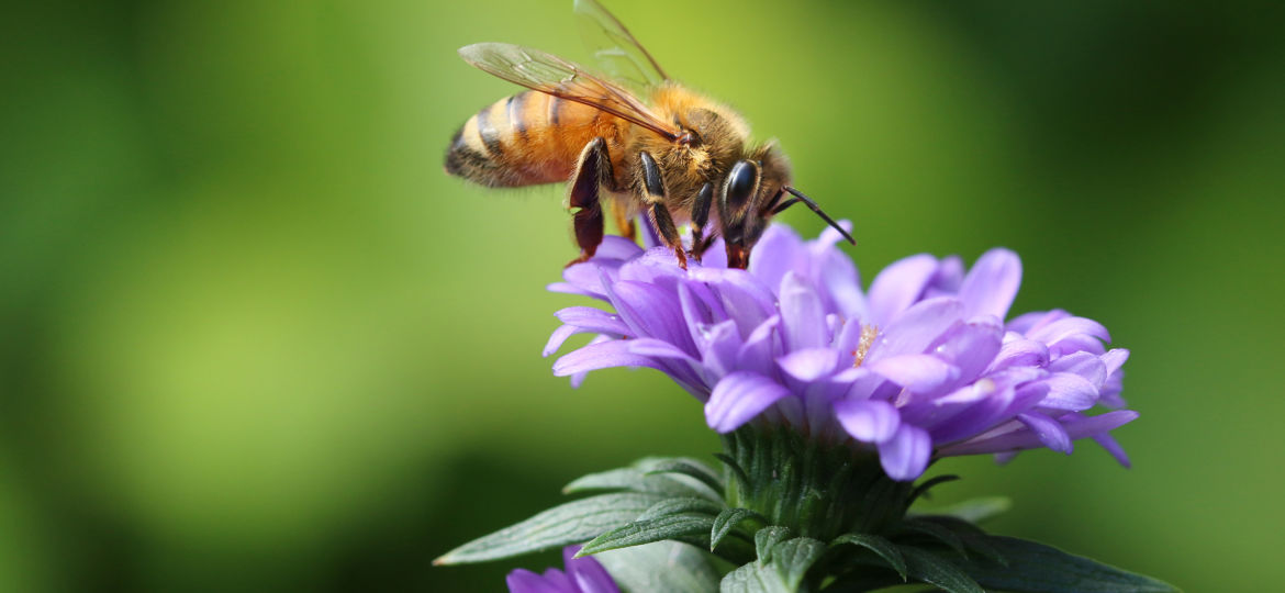 Bee feeding in purple flower